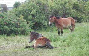 Heste i tøjr